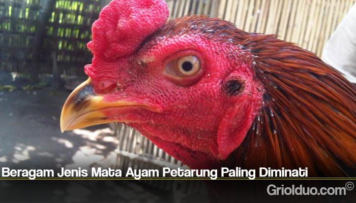 Beragam Jenis Mata Ayam Petarung Paling Diminati