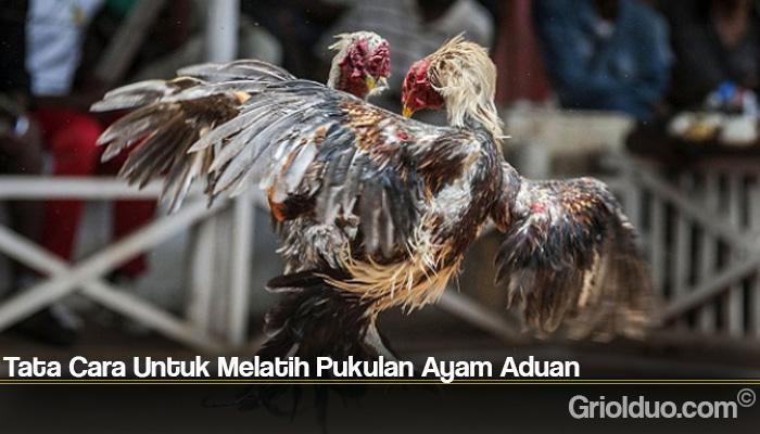 Tata Cara Untuk Melatih Pukulan Ayam Aduan